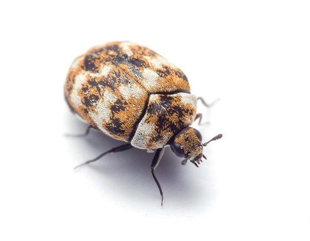 Zahl von Käfern und Co in Innenräumen wird von der Struktur ...