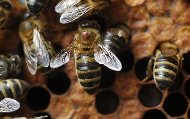 Mittel Gegen Bienen : lithiumchlorid verspricht durchbruch im kampf gegen den bienen parasiten bienen mittel gegen ~ Frokenaadalensverden.com Haus und Dekorationen