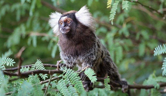 Haben Affen einen Sinn für Musik?