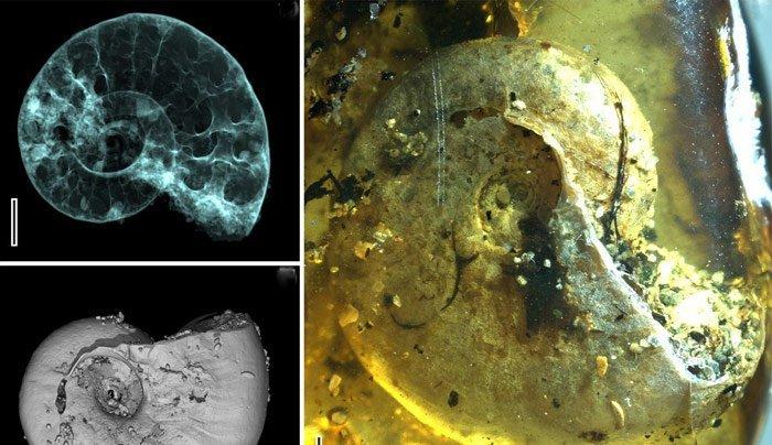 Ammonit im Bernstein