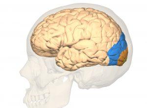 visueller Cortex
