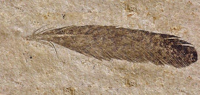 Archaeopteryx-Feder