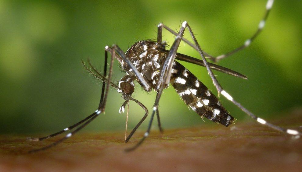 Asiatische Tigermücke (Aedes albopictus)
