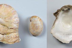 Pantoffelschnecke und Auster