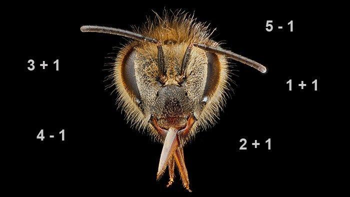 Bienenmathe