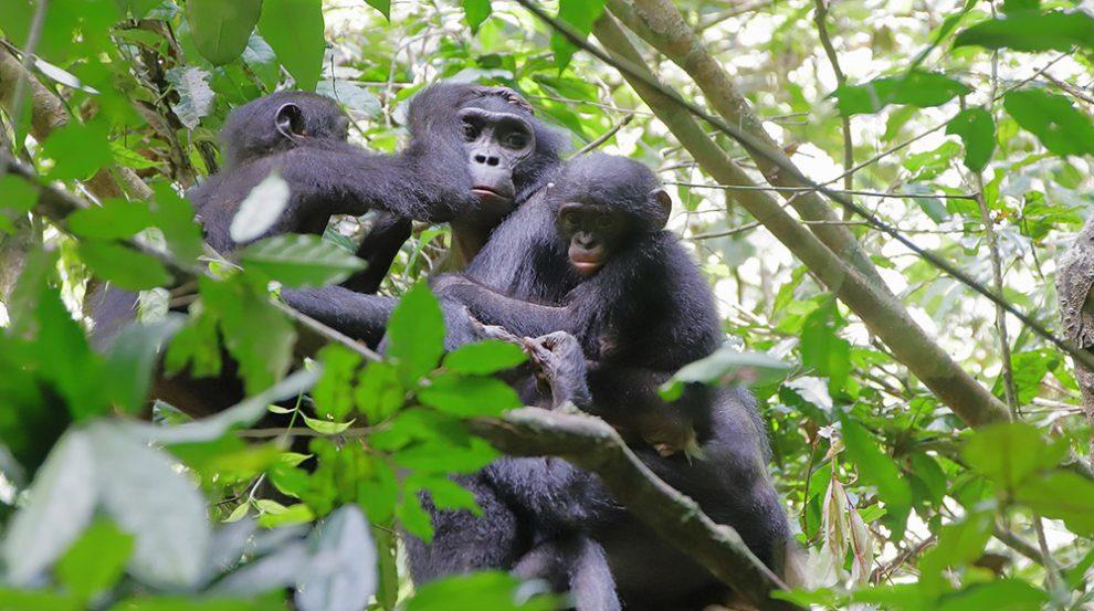 Bonobomutter