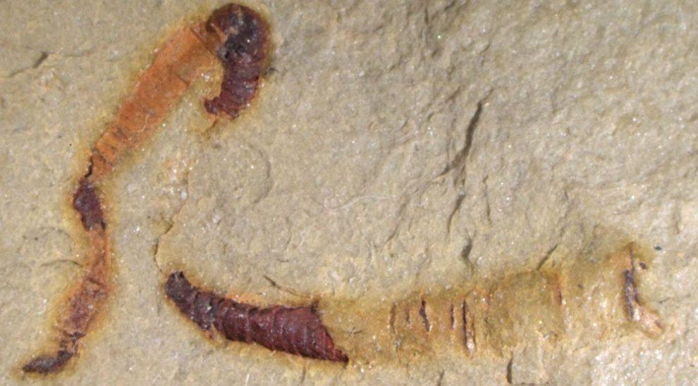 Darmfossil