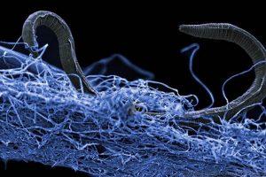 Nematoden der Tiefen Biosphäre
