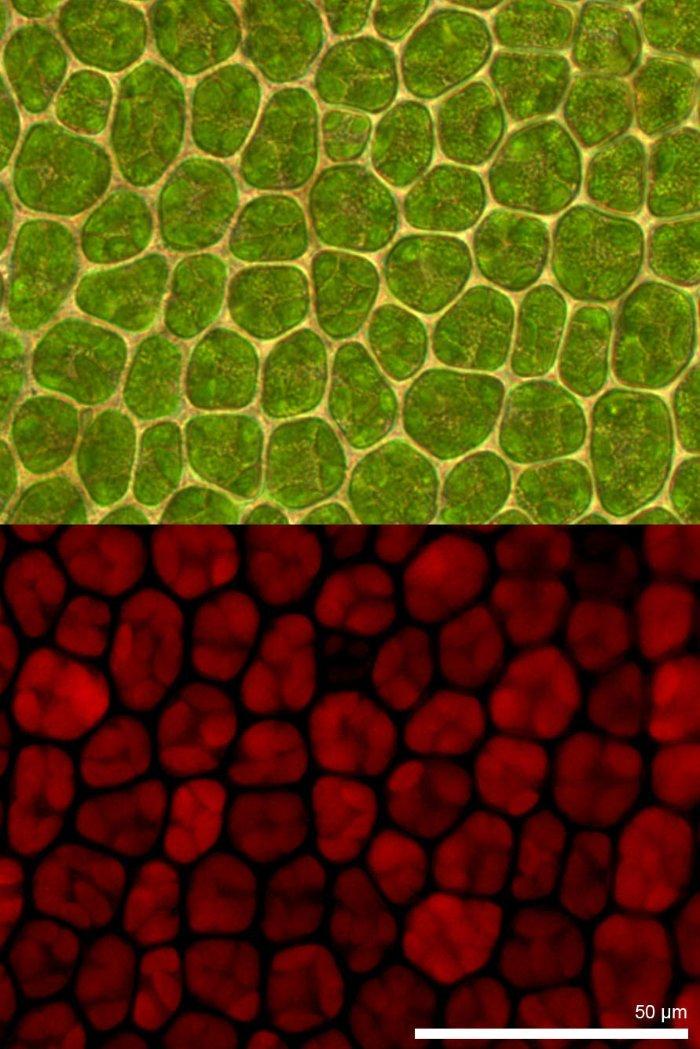 Chlorophyll-Fluoreszenz