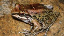 Froschmännchen