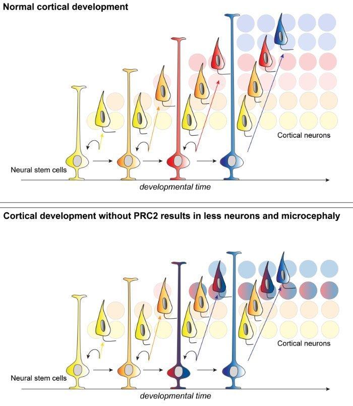 Neurogenese ohne PRC2-Komplex