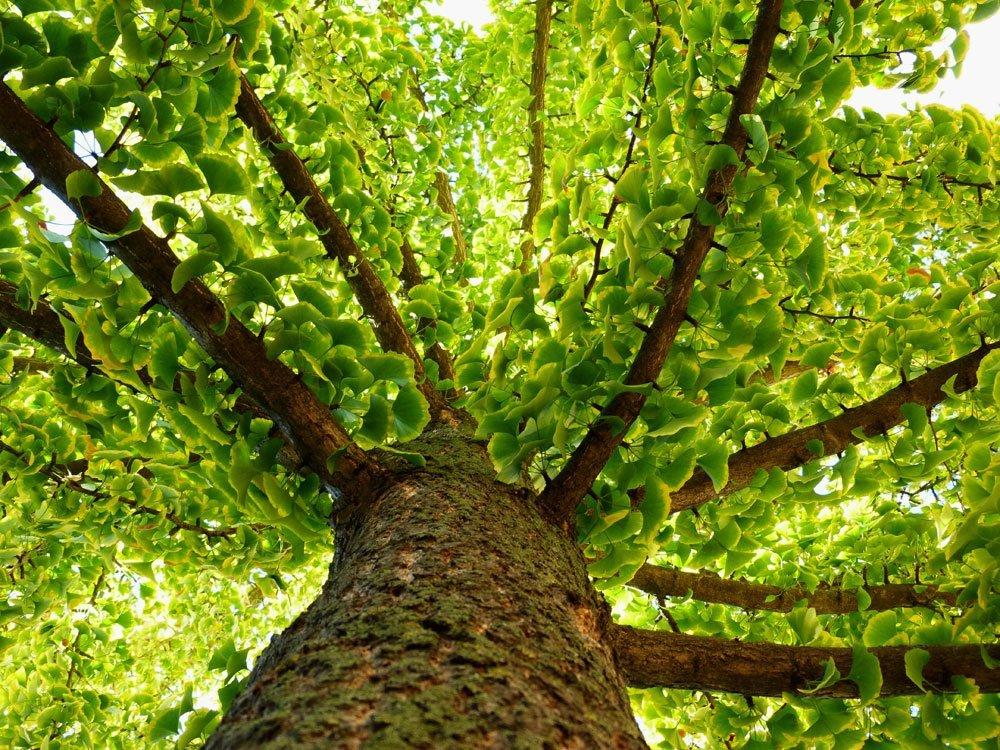 Ginkgo-Baum
