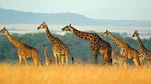 Massai-Giraffen