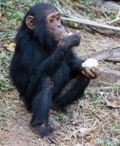 Fressender Schimpanse