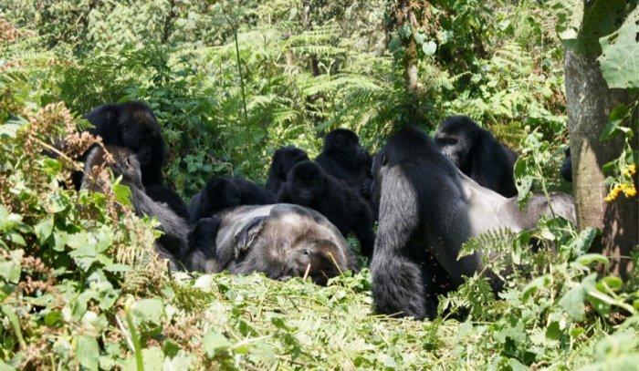 Östliche Flachlandgorillas