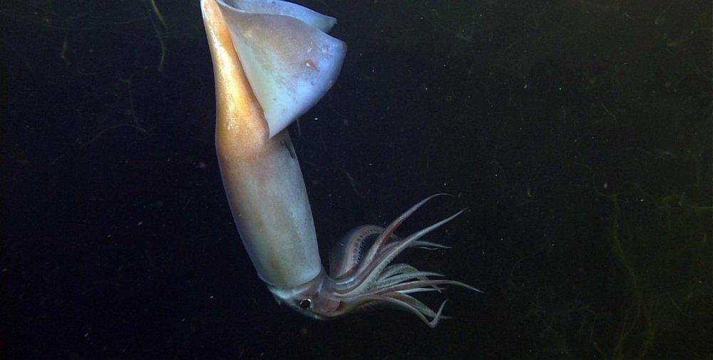 Humboldt Kalmare