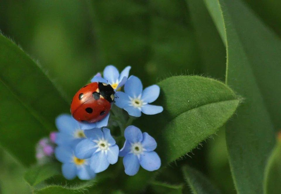 Marienkäfer auf Pflanzenblüte