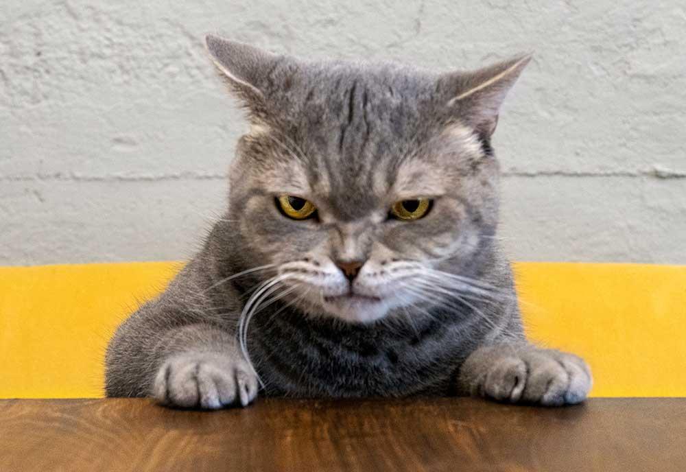 Katze grimmig