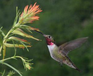Kolibri an Blüte