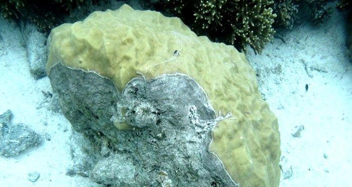 Kranke Koralle