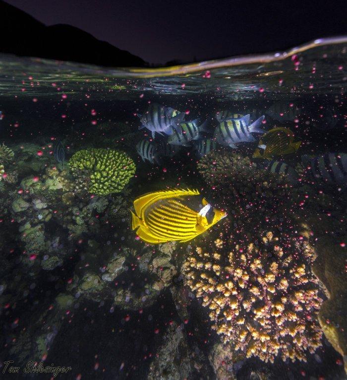 Korallenlaichen