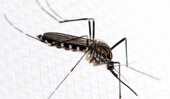 Aedes koreicus