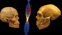 Neandertaler und Homo sapiens