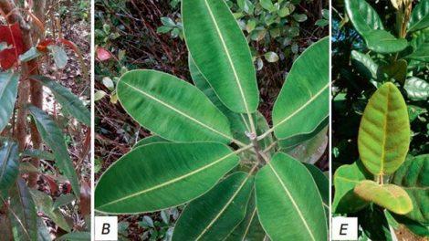Heilpflanzen aus Mauritius