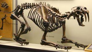 Smilodon-Skelett
