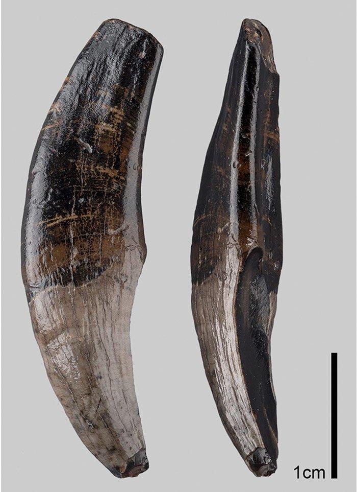 Makaken-Fossil