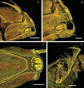 Macrostylis metallicola
