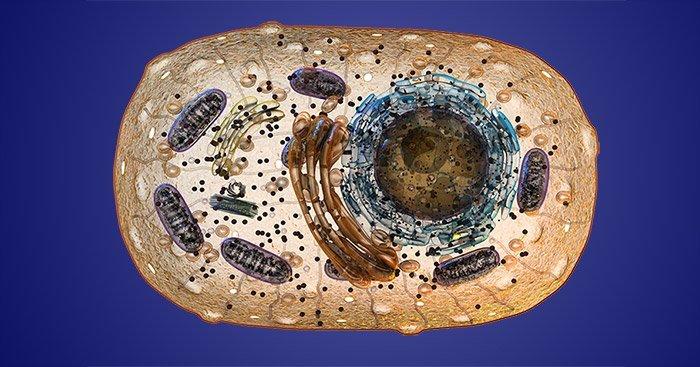 Mitochondrien in Zelle