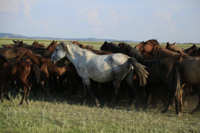 Kazakh-Pferde