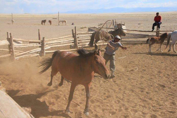 Pferdefang in der Mongolei