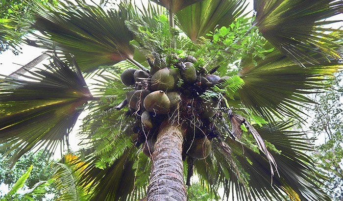 Coco de Mer -Palme