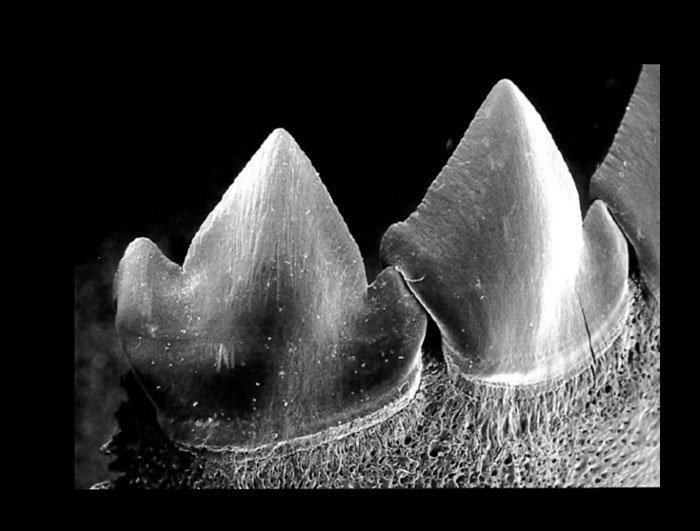 Piranha-Zähne