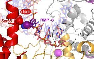 Rendesivir RNA