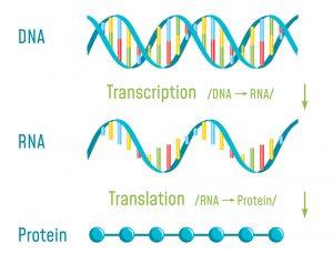 DNA, RNA,. Protein