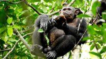 Schimpanse frisst Schildkröte