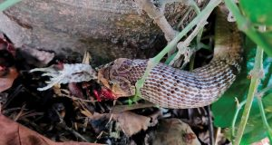Schlange mit Kröte