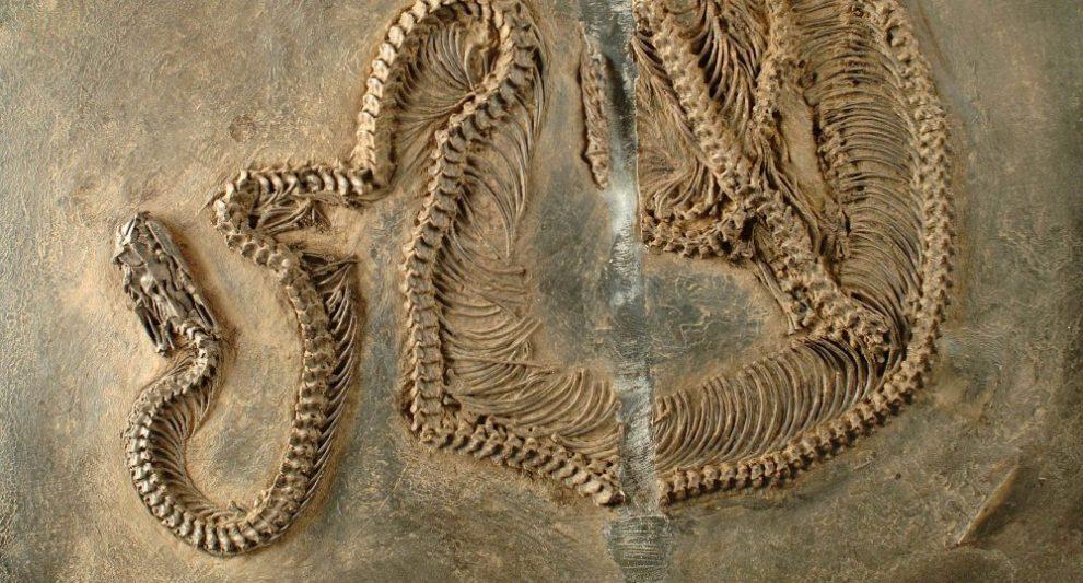 Schlangenfossil