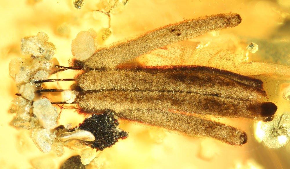 Ältester Schleimpilz entdeckt