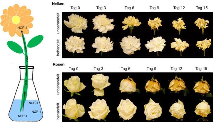 Frischhaltemittel für Schnittblumen