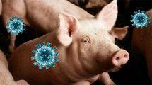 Schwein mit Coronaviren
