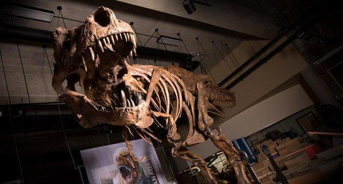 Weltgrößter Tyrannosaurus rex entdeckt