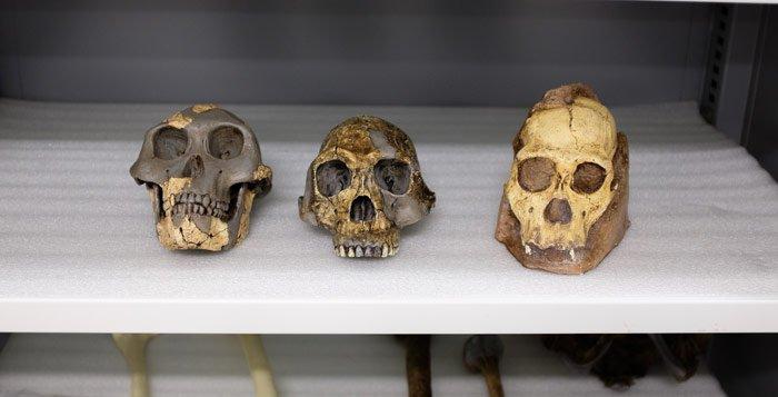 Homininen-Fossilien