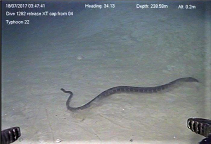 Tauchrekord bei Seeschlangen
