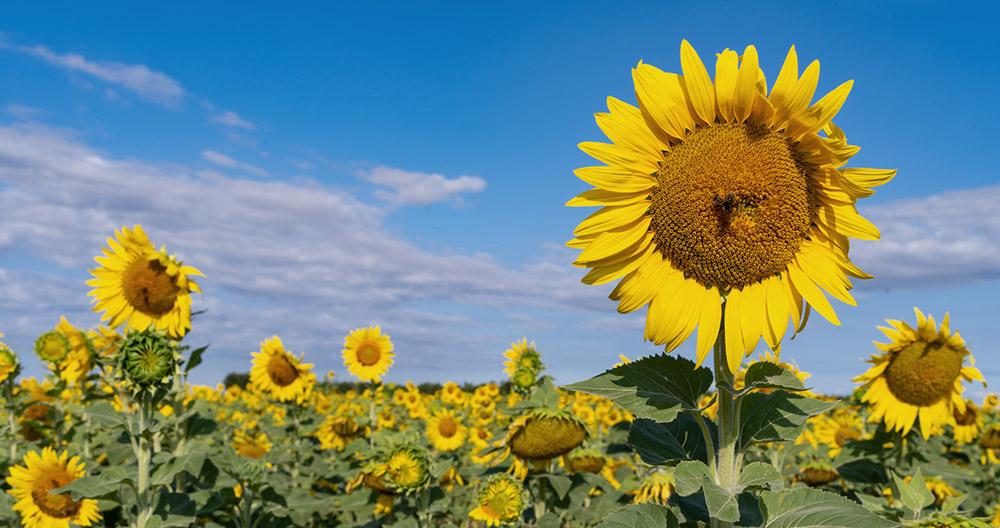 Schmerzmittel aus Sonnenblumen