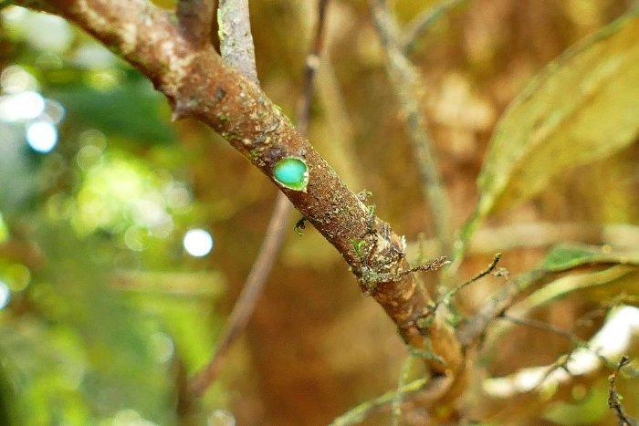 Pycnandra acuminata