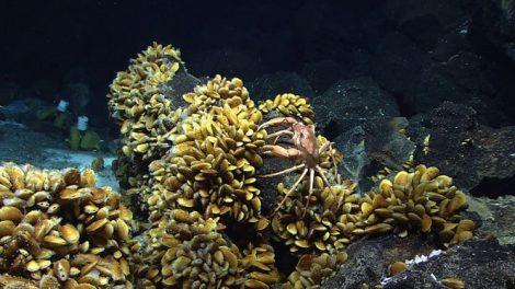 Bathymodiolus-Muscheln